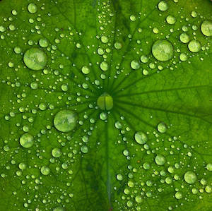 droplets of water on a lotus leaf