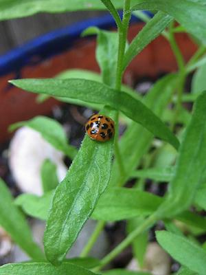 ladybug on tarragon